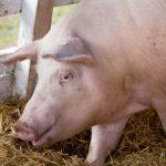 08:27 Focare de pestă porcină în mai multe localități din Gorj