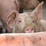 11:02 NOI focare de pestă porcină africană în Gorj