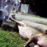 07:58 Gorj: 33 de focare de pestă porcină