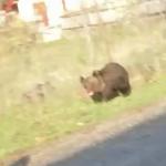 Pui de urs pe un drum din Stănești