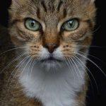 Franţa - O pisică, candidat la alegerile municipale din Rennes