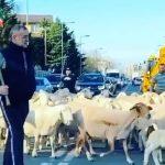 Gigi Becali, cu turma de oi pe străzile din Pipera, în plină criză de coronavirus. VIDEO