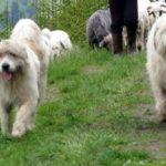 16:08 GROAZNIC! Femeie din Crasna, UCISĂ de câini ciobănești
