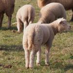 21:26 Ministrul Agriculturii: Românii îşi pot cumpăra MIEI direct din fermă