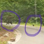 13:35 Ursoaică cu doi pui, întâlnită de jandarmi pe Valea Susenilor