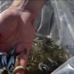 Jiul, populat cu un pește dispărut de zeci de ani