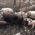 09:56 Fermă de porci, în incinta unei cariere miniere