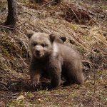 Șeful Salvamont: Evitați puii de urs!