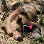 VIDEO: Ursoaică de 100 de kilograme, prinsă în laț la Turcinești. Primar: Zona e împânzită de urși!