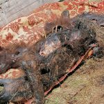 08:12 Urs găsit împușcat în cap, la Turcinești