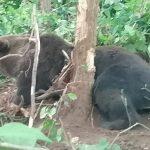 10:14 Urs prins în capcană pe Valea Gilortului